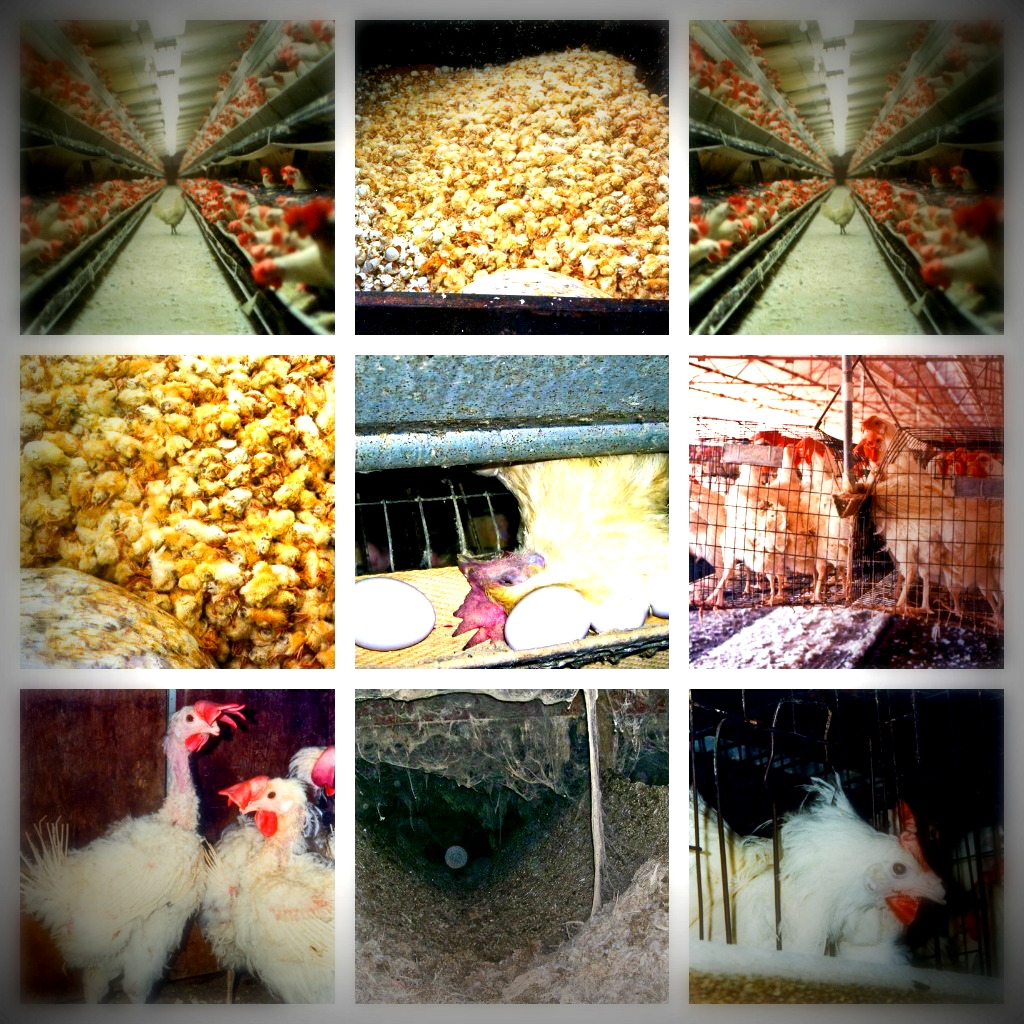 egg farming